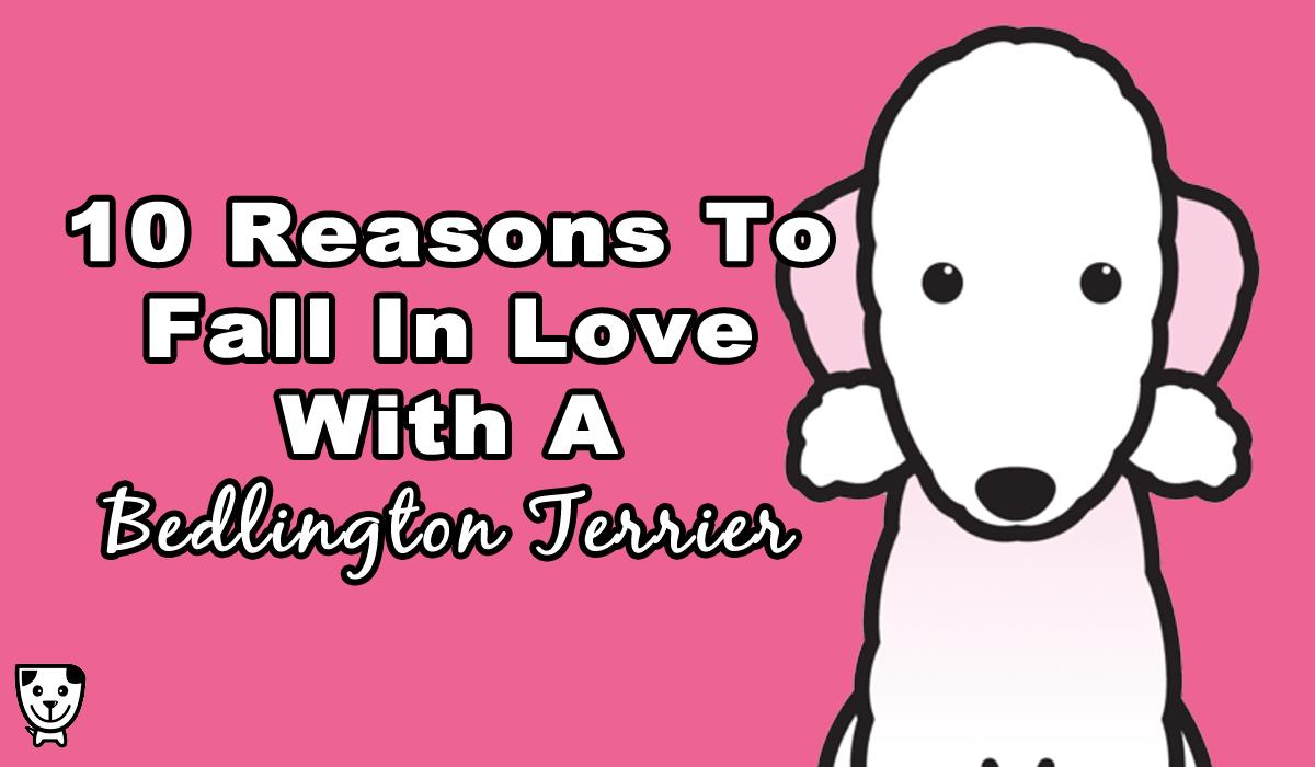Bedlington-Terrier-Love-1