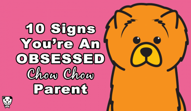 obsessed-chow-chow-parent