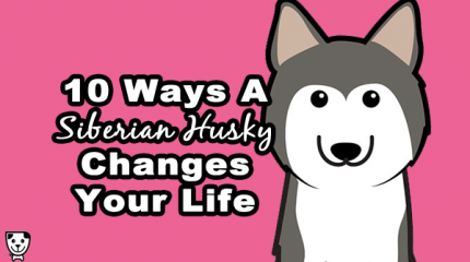 10 Ways A #SiberianHusky changes your life: