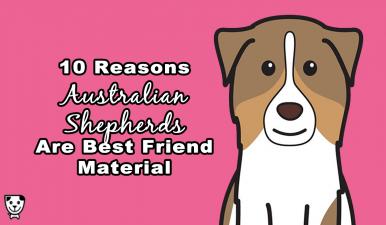 Why Every #AustralianShepherd is #Bestfriend Material