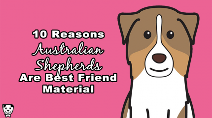 Why Every #AustralianShepherd is #Bestfriend Material