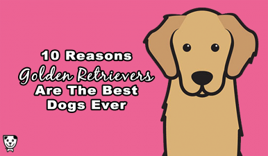 10 Reasons #GoldenRetrievers Are The Best Dogs Ever