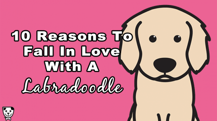 10 Reasons To Fall In Love With A #Labradoodle