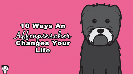 10 Ways An #Affenpinscher Changes Your Life #Ilovemyaffie #affie