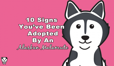 10 Signs You've Been Adopted By An #AlaskanMalamute