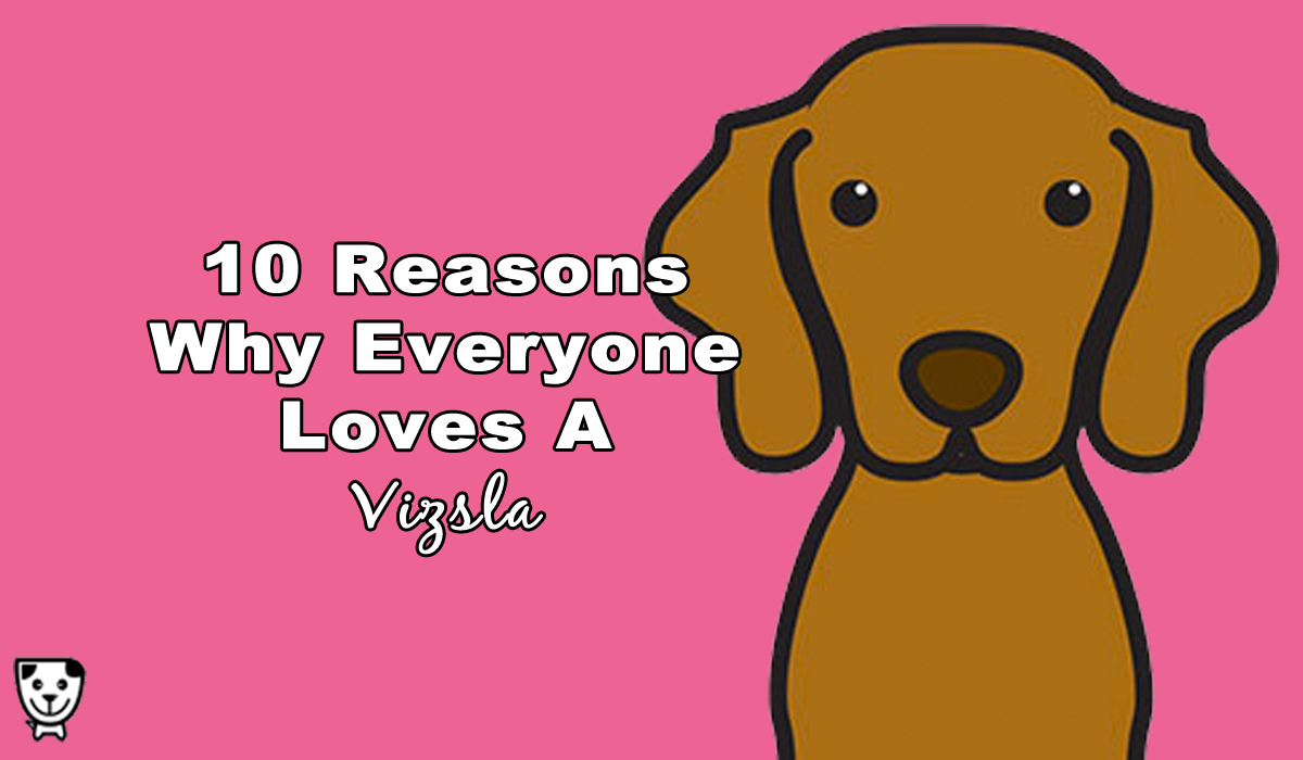 10 Reasons Why Everyone Loves A Vizsla