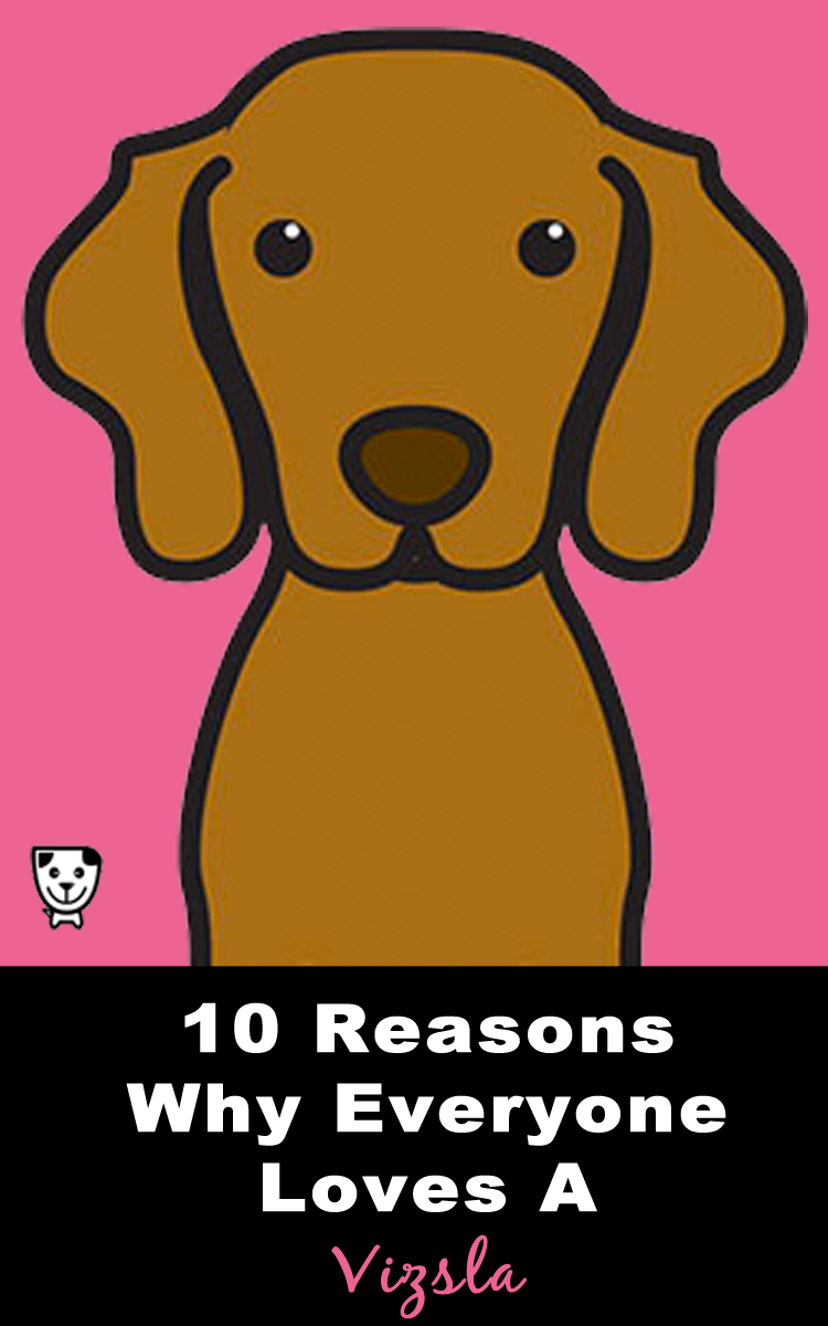 10 Reasons Why Everyone Loves A #Vizsla