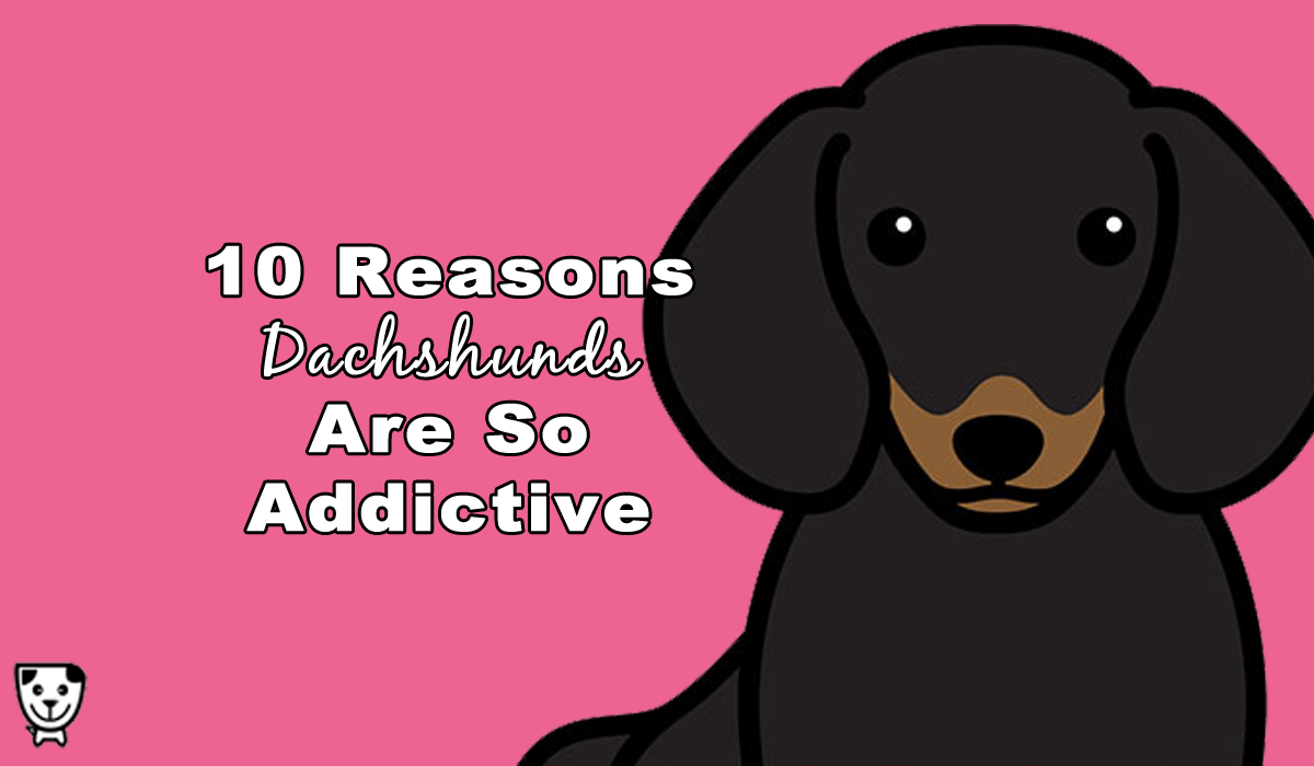 10 Reasons Dachshunds Are So Addictive