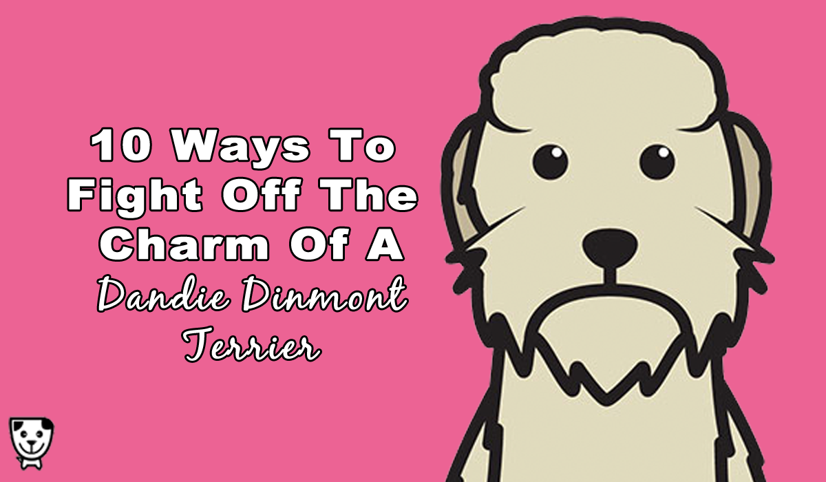 10 Ways To Resist The Charms Of A Dandie Dinmont Terrier