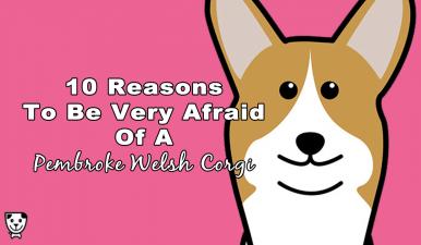 10 Reasons To Be Very Afraid Of A #PembrokeWelshCorgi